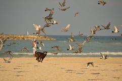 在追逐鸟的海滩的狗 免版税图库摄影