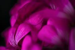 在退色的模糊的背景的美丽的神仙的梦想的不可思议的桃红色紫色花 免版税库存图片