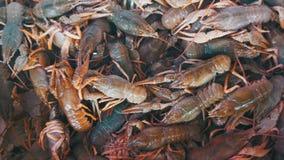 在逆鱼市上的红色小龙虾 影视素材