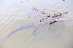 在透明水下的三条鳄鱼游泳 库存图片