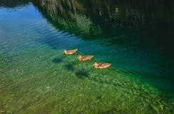在透明的湖水的三只鸭子 库存图片
