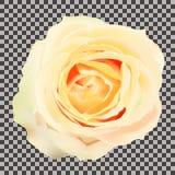 在透明背景的黄色玫瑰 库存照片