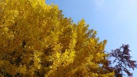在透过光的透亮银杏树biloba叶子 通过a 并且公孙树,在分裂Ginkgophyta 使用 免版税库存照片