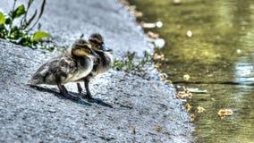 在途中的两只小野鸭对水 库存照片
