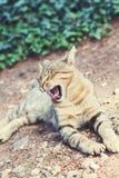 在途中的打呵欠的猫 库存图片