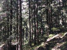 在途中的松树对花喜马拉雅山谷  免版税库存图片