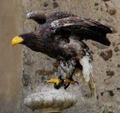 在途中的猎人鸟对finde一些食物 库存图片
