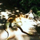 在途中的睡觉袋鼠在动物园里 免版税库存图片
