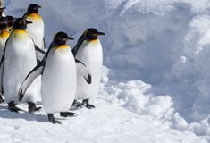 在逗人喜爱的无尾礼服步行的企鹅在一条多雪的道路 库存图片