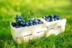 在逗人喜爱的木篮子的新鲜的成熟蓝莓在蓝莓灌木下的一棵草 库存图片