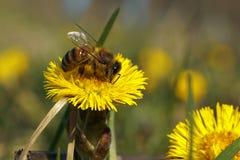 在逗人喜爱黄色的花的蜂 库存照片