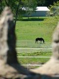 在通过岩石篱芭结构被观看的绿色领域的马 免版税库存图片