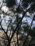 在通过木麻黄属的各种常绿乔木树针被看见的太平洋上的日出生长在海滩在考艾岛海岛,夏威夷上的Kapaa 免版税库存照片