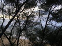 在通过木麻黄属的各种常绿乔木树针被看见的太平洋上的日出生长在海滩在考艾岛海岛,夏威夷上的Kapaa 库存照片