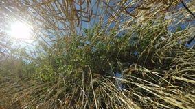 在通过麦子被看见的微风的树, 4K 股票录像