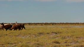 在通过-不相干的南美大草原的骆马之类 股票录像