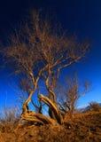 在通配之下的白杨树日落 免版税库存图片