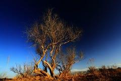 在通配之下的白杨树日落 免版税库存照片