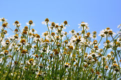 在通配之下的蓝色春黄菊域金天空 库存照片