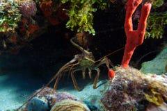 在通配的红色龙虾,缓慢地Cayo,古巴 免版税库存图片