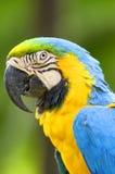 在通配的鹦鹉金刚鹦鹉 免版税库存图片