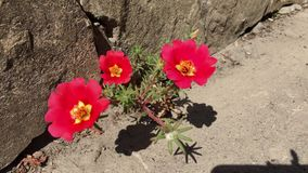 在遏制的红色花Portulaca樱桃 股票视频