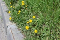 在遏制的蒲公英花在春天19757 库存照片