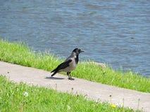 在道路的乌鸦鸟 图库摄影