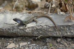 在道路的蜥蜴,特内里费岛, Canarian海岛,西班牙,欧洲 免版税库存图片