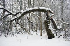 在遗弃冬景花园的失败的苹果树 免版税图库摄影