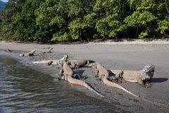 在遥远的海滩的科莫多巨蜥 免版税图库摄影