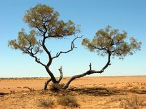 在内地沙漠树 库存照片