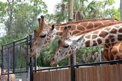 在那不勒斯动物园的两头长颈鹿 免版税库存图片