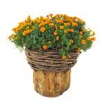 在邪恶的篮子的明亮的花在被切开的日志被隔绝在白色 免版税库存照片