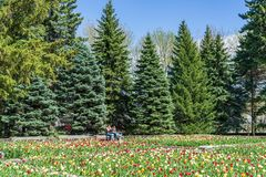 在郁金香之间的停留在蒙特利尔植物园 免版税库存照片