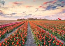 在郁金香农场的五颜六色的春天日出在Espel村庄附近 库存图片