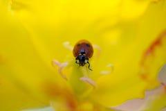 在郁金香的瓢虫 库存照片