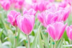 在郁金香的美丽的郁金香调遣有绿色叶子背景在冬天或春日 残破的郁金香 库存图片