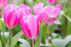 在郁金香的美丽的郁金香调遣有绿色叶子背景在冬天或春日 免版税图库摄影