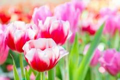 在郁金香的美丽的郁金香调遣有绿色叶子背景在冬天或春日 免版税库存照片