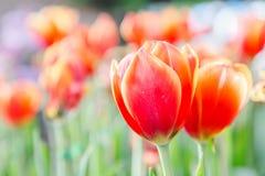 在郁金香的美丽的郁金香调遣有绿色叶子背景在冬天或春日 库存照片