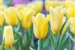 在郁金香的美丽的郁金香调遣有绿色叶子背景在冬天或春日 图库摄影