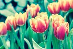 在郁金香的美丽的郁金香调遣有绿色叶子背景在冬天或春日 库存图片