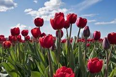 在郁金香节日的春天开花 免版税库存图片