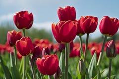 在郁金香节日的红色郁金香 免版税库存图片