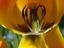在郁金香花里面 库存照片