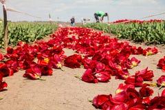 在郁金香领域的农夫工作 免版税图库摄影
