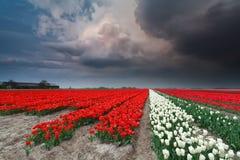 在郁金香领域的剧烈的雷暴在春天 图库摄影