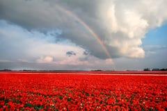 在郁金香领域的彩虹 库存照片