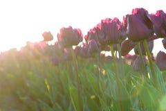 在郁金香领域的春天 库存图片